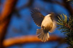 Hömötiainen vaihtaa oksaa lennossa
