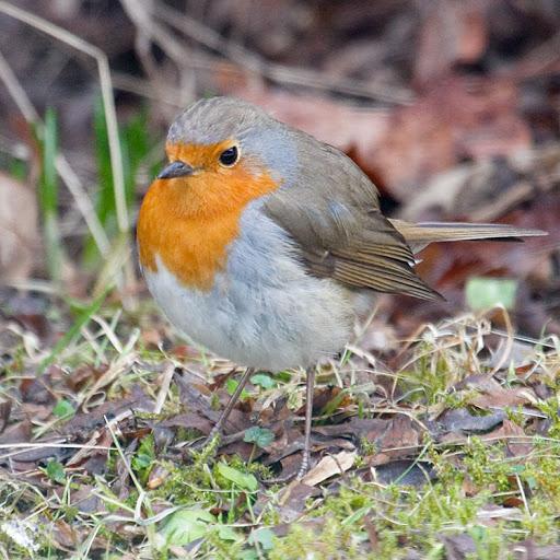 Punarintainen Lintu