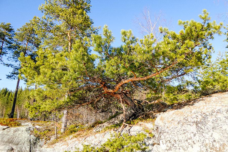 Vähä-Venakon montametriä leveä bonsaimänty