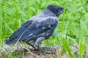 Hölömöt variksen poijat