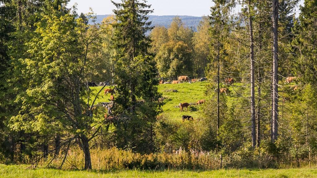 Karjoo laitumiella Väisälänmäellä