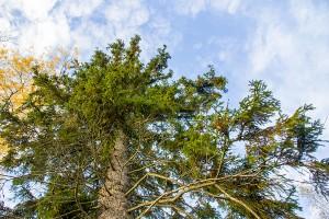 Kaakonvuoren jättimäinen mukurakuusi, Leppävirta