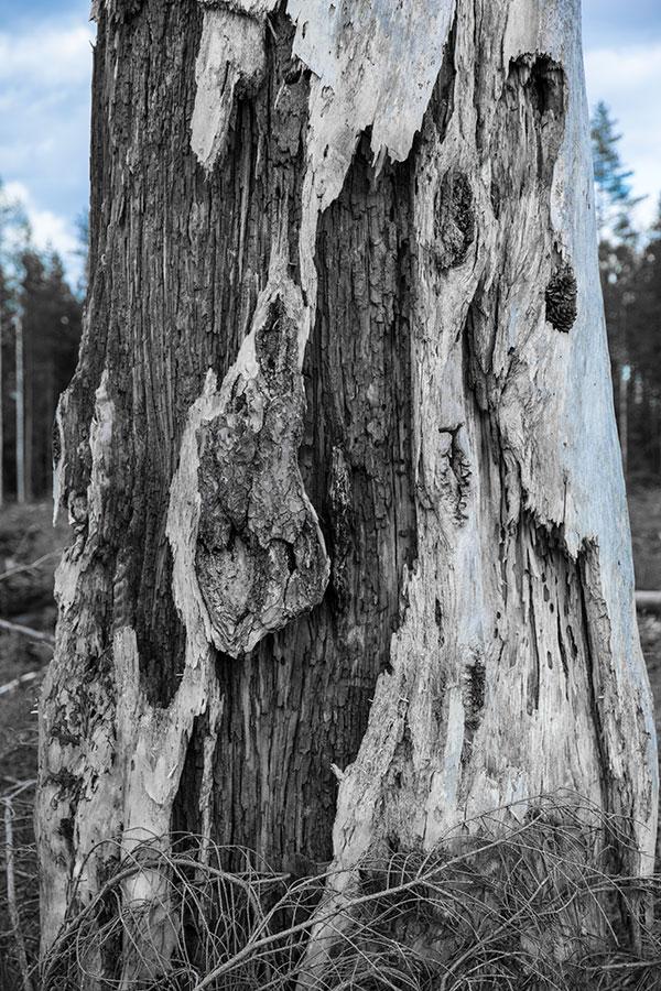 Rauhoitettu puu, Pieksämäki