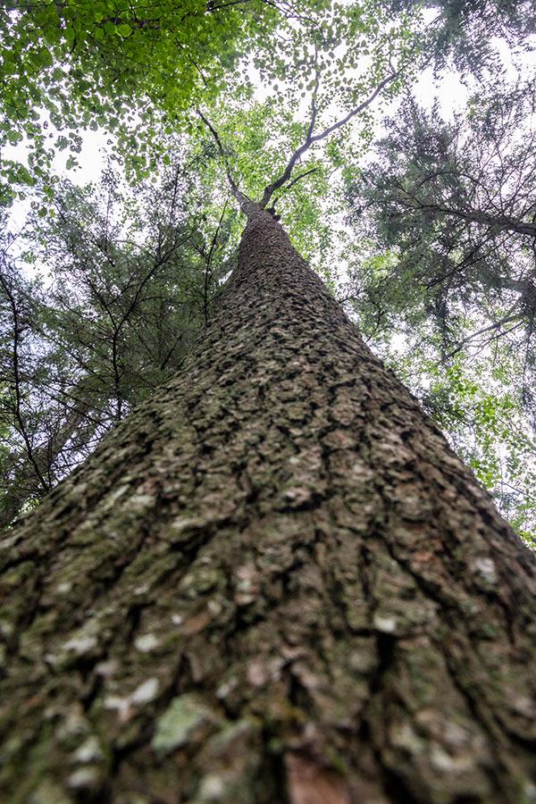 Niinipuu, Vuori-Kukkari, Suvas