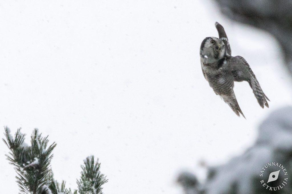 Hiiripöllö, Tulilahti, Jäppilä