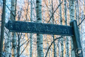 Karlvikin rauhoitettu kuusi – lähiretkeilyä Leppävirran kirkonkylällä